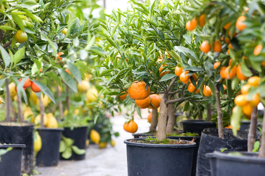 how to grow citrus in a container