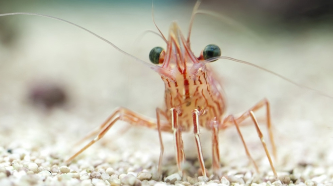 Shrimp.jpg.662x0_q100_crop-scale
